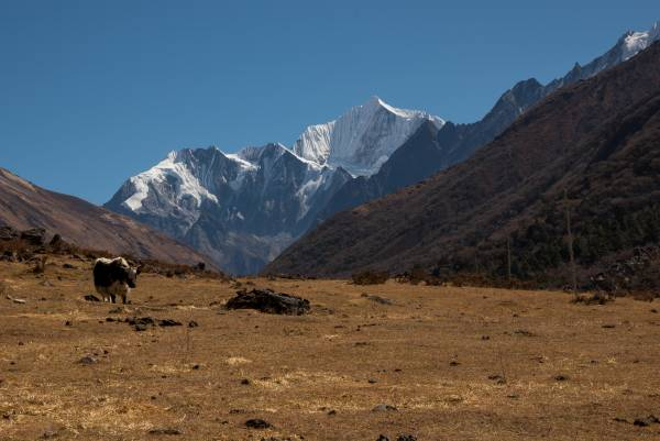 Yak im Langtang Nationalpark