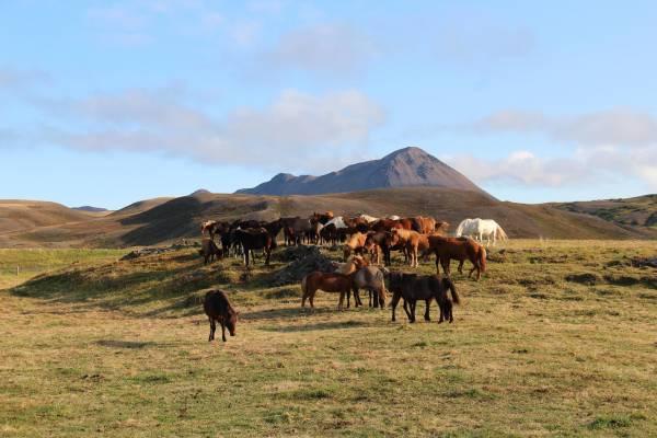 Wilde Pferde in Myvatn